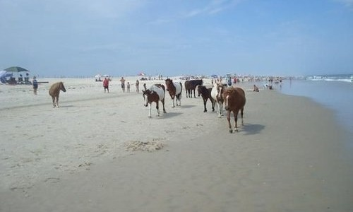 Ponies on Assateague Island Beach
